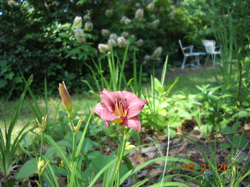 Dotty Plants Greenhouse Journal Daylilies Are Not Lilies But They