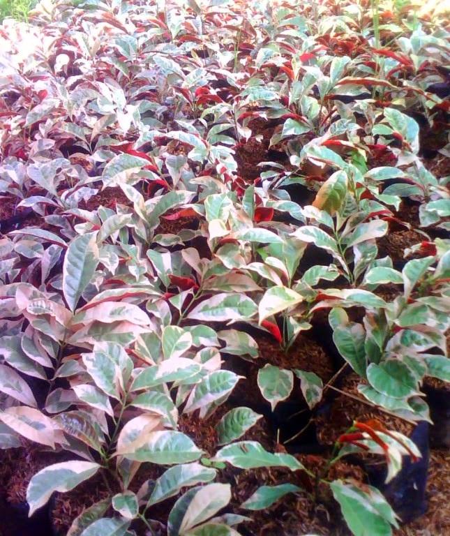 http://tukangtamankaryaalam.blogspot.com/2014/12/tukang-tanaman-hias-pohon-sambang-dara.html