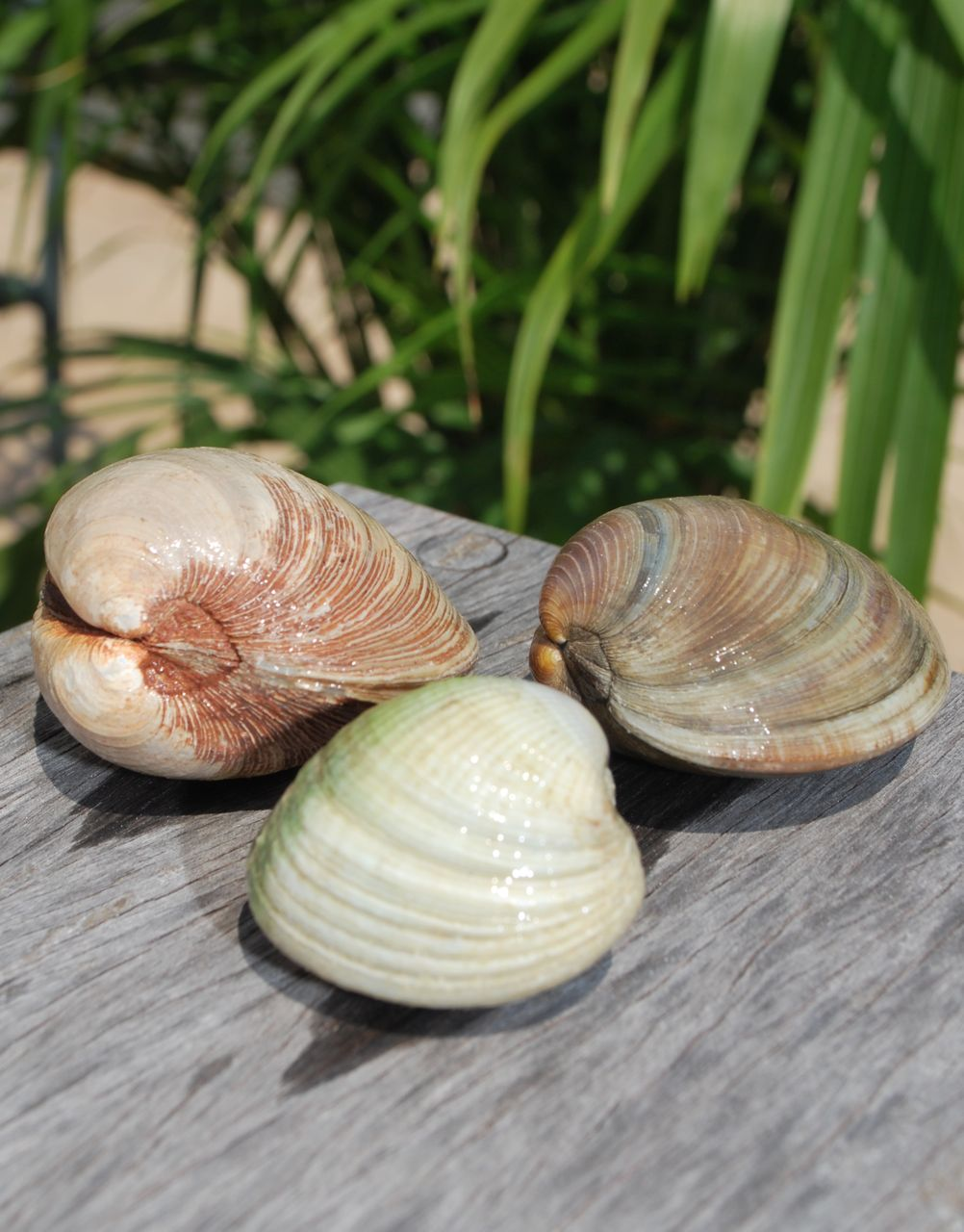 Littleneck clam (left), cockle (centre) and pasta clam (right)