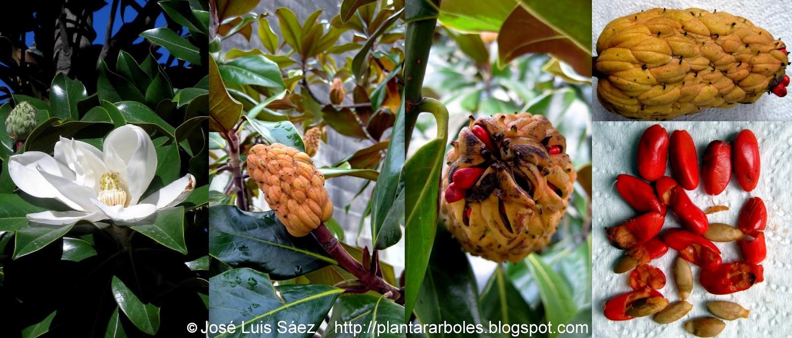 Magnolio magnolia grandiflora otros nombres magnolia - Semilla de magnolia ...