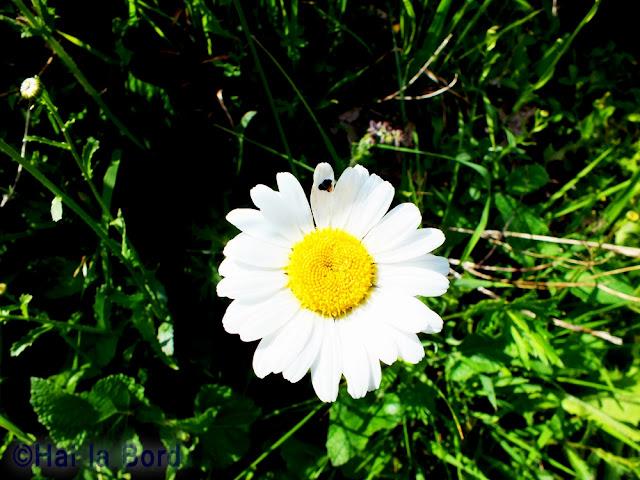 floare alba covasna