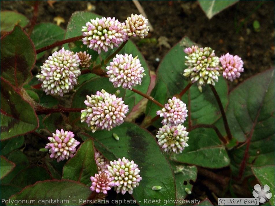 Polygonum capitatum = Persicaria capitata - Rdest główkowaty kwiaty
