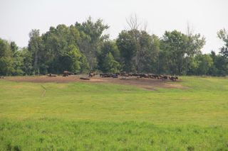 photo of herd of bison in a pasture