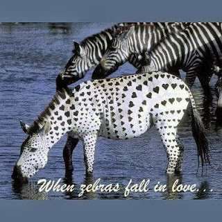 When zebras fal in love