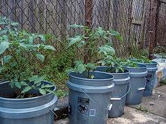 cara menanam sayuran dengan ember bekas cat, keuntungan menanam sayuran di pot, tanaman sayir yang dapat ditanam di pot