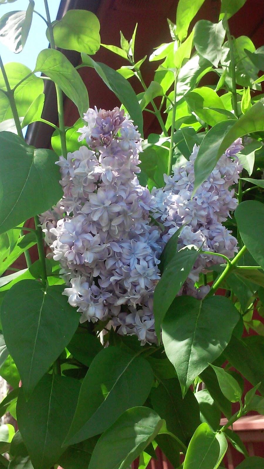 Lilacs, spring, blooms, gardening