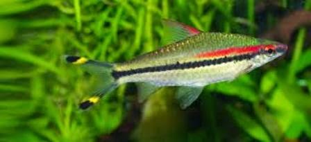 Pretty freshwater fish the denison barb freshwater fish for Pretty freshwater fish