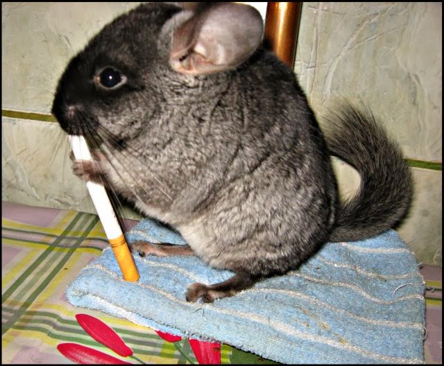 Funny Chinchilla | Interesting New Pictures | Funny And ...