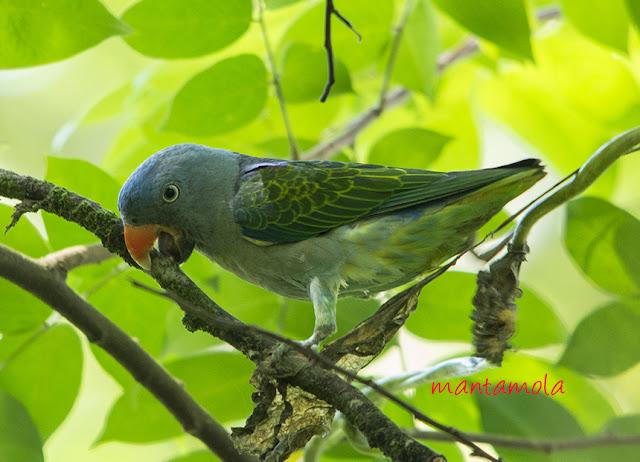 Blue-rumped Parrot (Psittinus cyanurus)