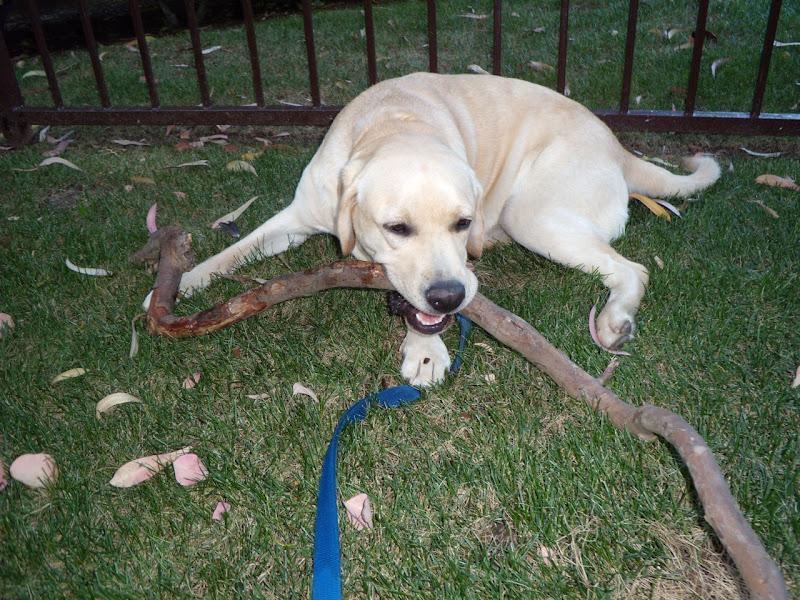 Labrador Cooper big stick