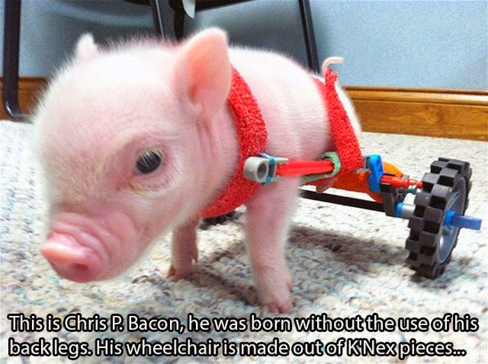 People doing amazing things for animals (28 pics), a mini pig named Chris P Bacon was born without the use of his back legs so owner gave him wheelchair made out K'Nex pieces
