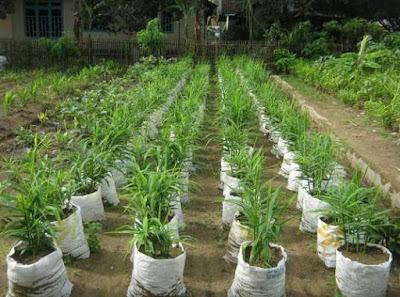 Usaha sampingan bidang pertanian rempah-rempah/obat herbal