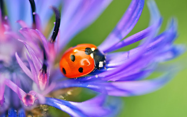 Ladybug And Cornflower Blue