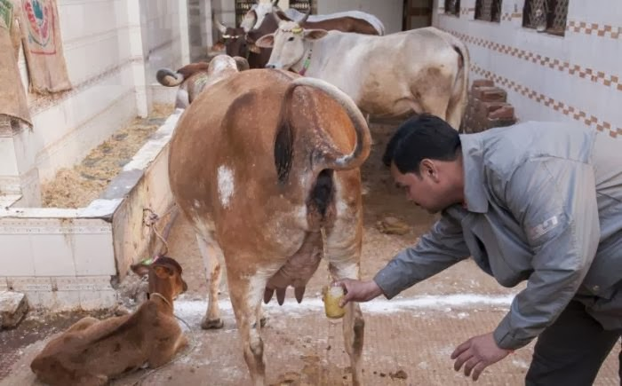 Cow Urine Promoted for Health Benefits?