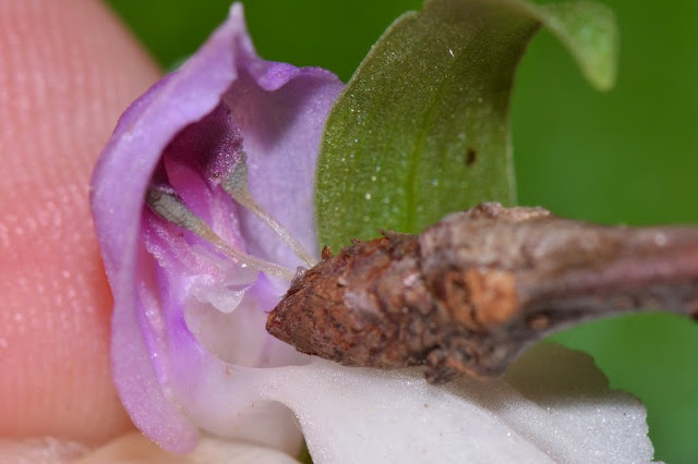 pollination mechanism of the Showy Orchis - Galearis spectabilis