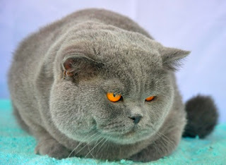 Pesona Kecantikan Kucing British Shorthair Yang Terkenal