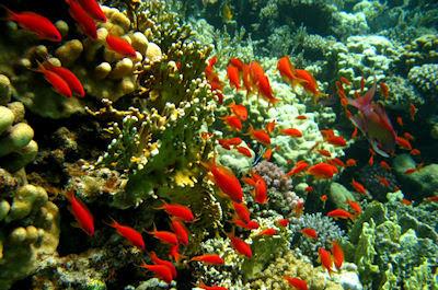 Cardumen de peces color naranja, arrecifes y corales