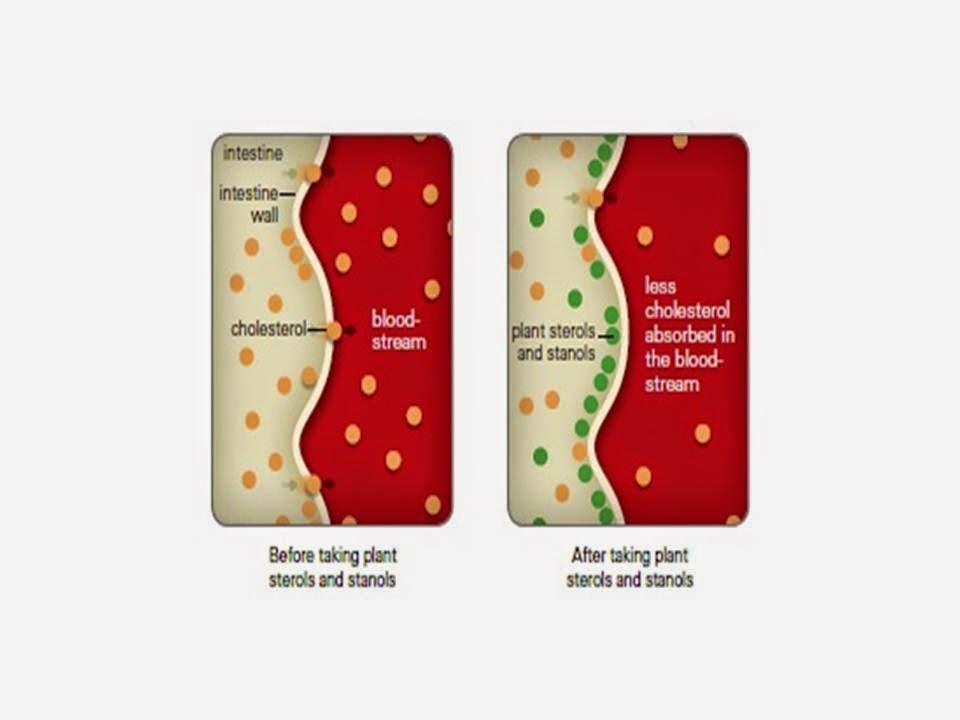 phytocol-ST menghalang penyerapan kolesterol
