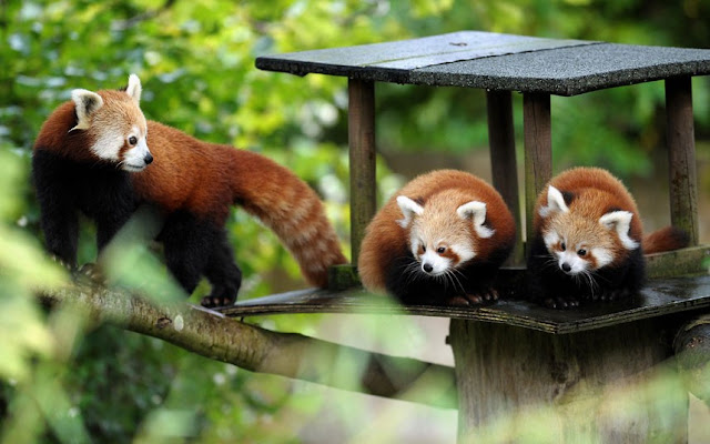 funny animal pictures, three red pandas