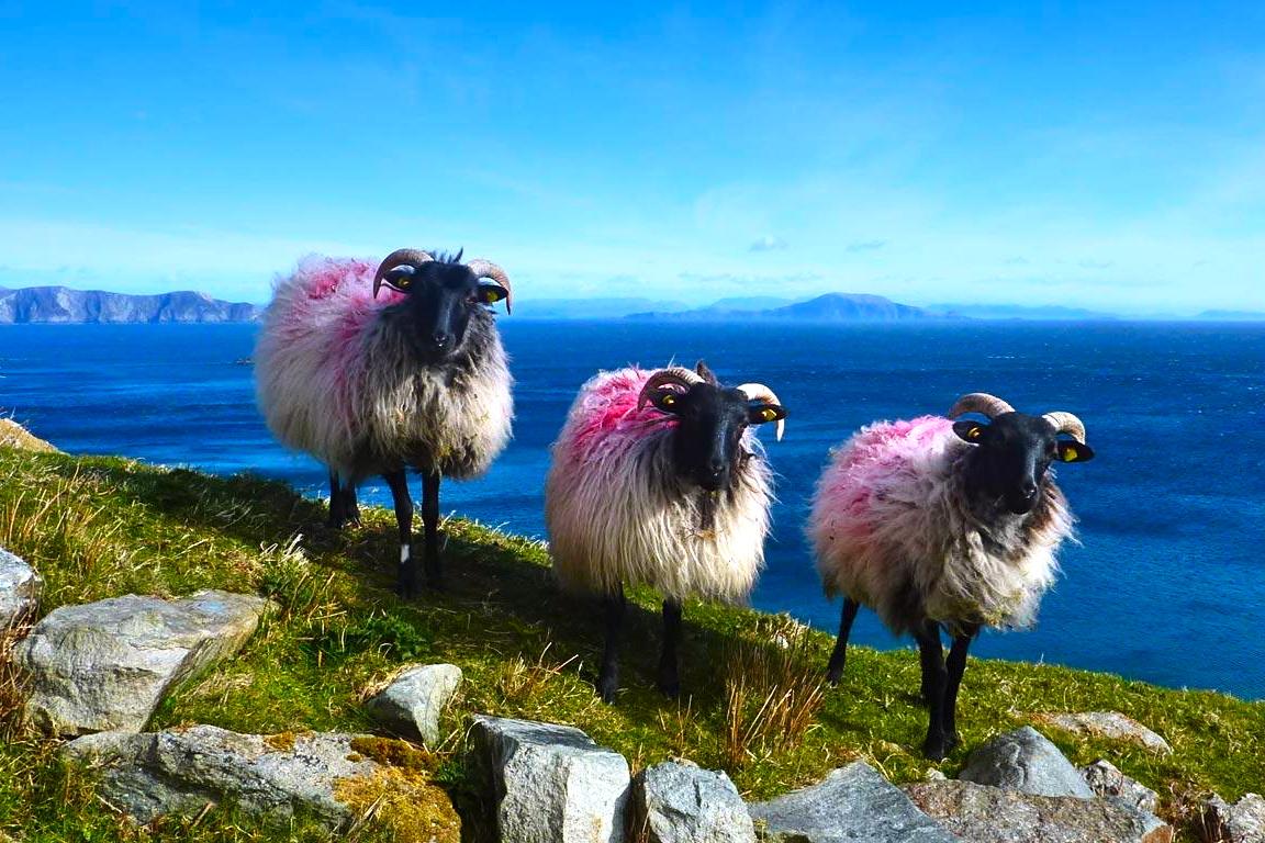 http://3.bp.blogspot.com/-NjWBgYraNkc/UDxeSmqh6_I/AAAAAAAAKZs/Ww6MzFOdFrY/s1600/Sheep_Achill_Island_County_Mayo_Ireland_20120822.jpg