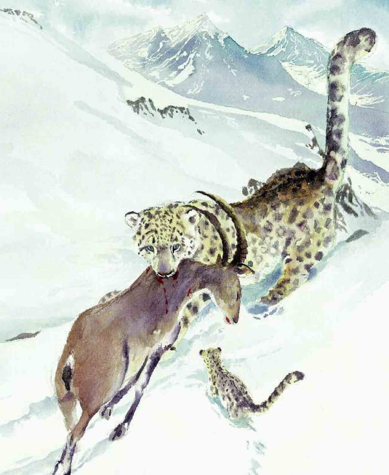 Snow leopard hunting prey - photo#1