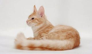 Gambar Kucing Anggora Lucu dan Imut 100012