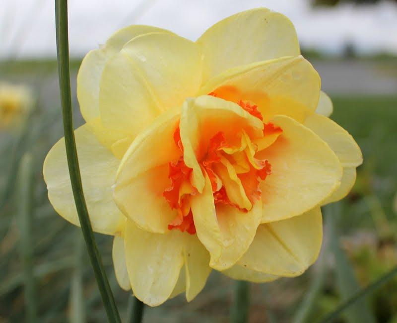 My mountain garden gleanings spring flowers in white rock my mountain garden gleanings mightylinksfo