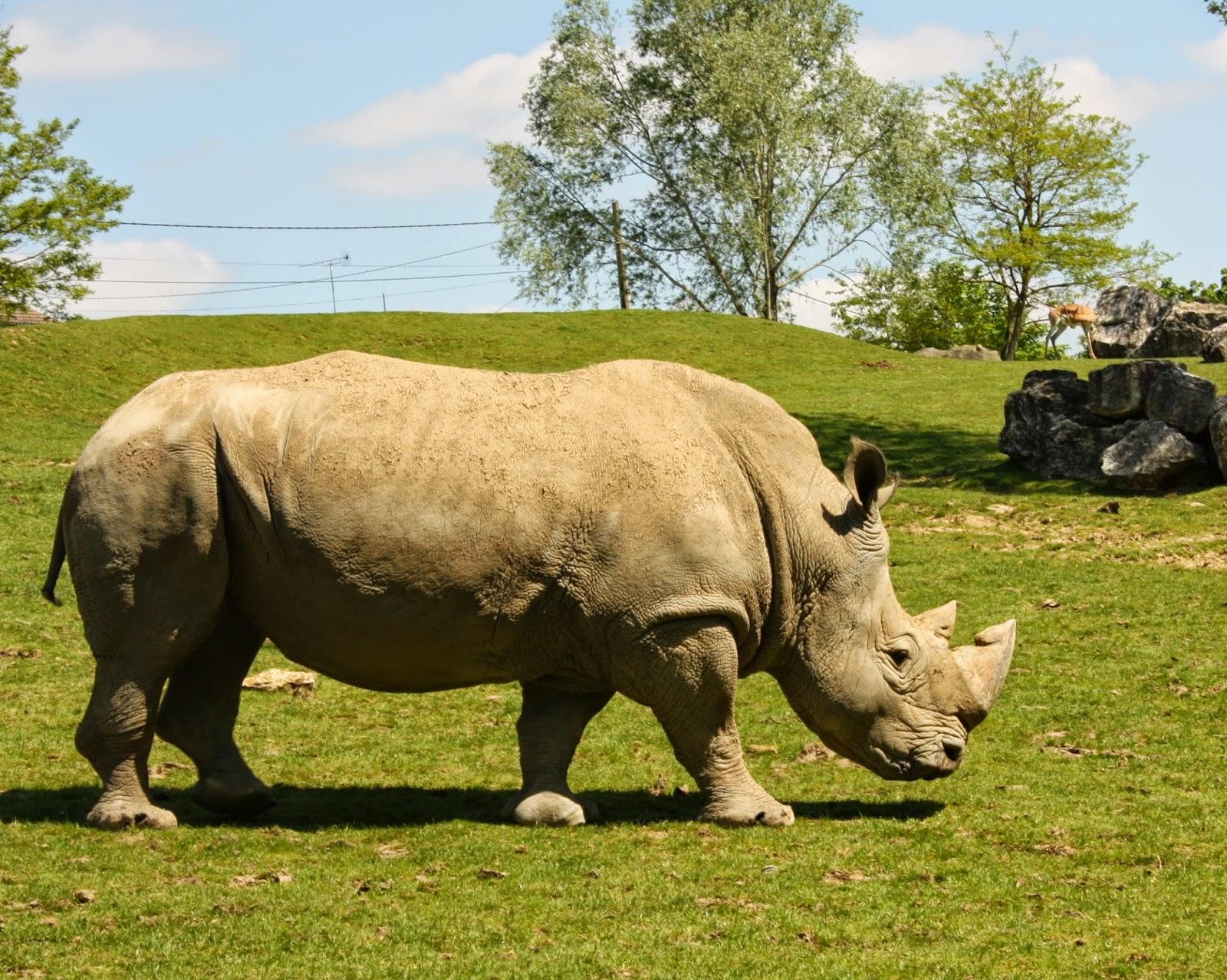rhinocéros beauval