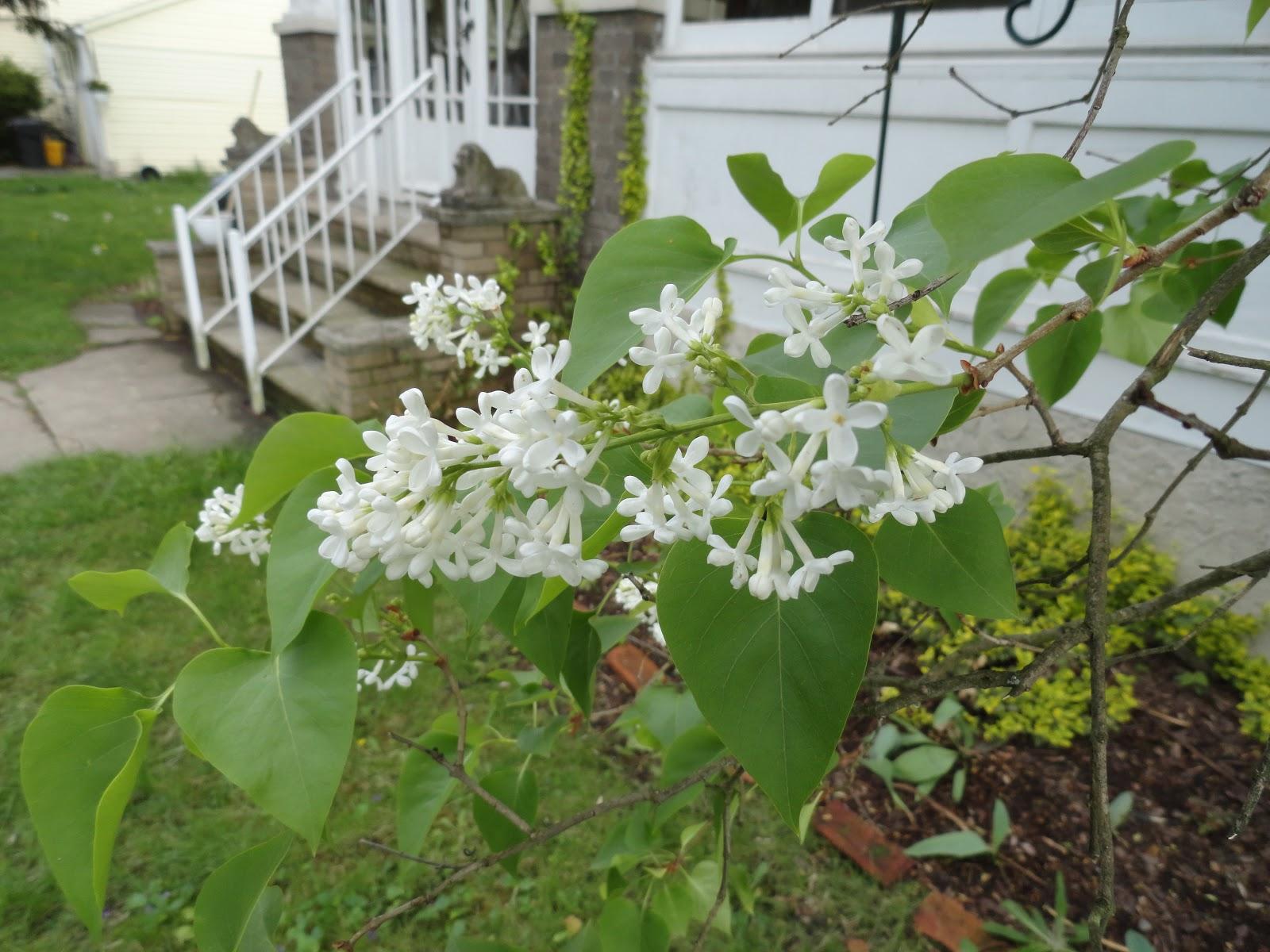 Bush That Looks Like Lilacs