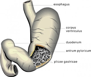 Duodenal Ulcers
