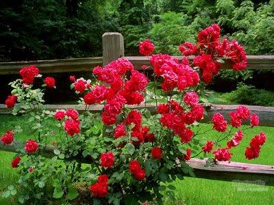 jardim_roseiras.JPG