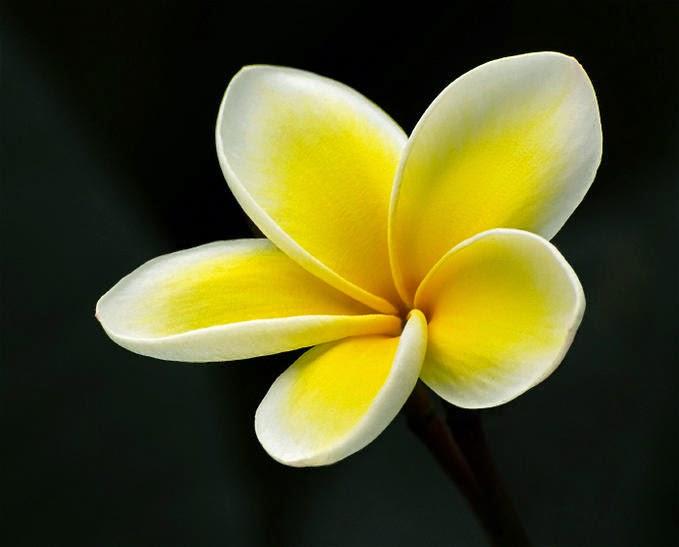 semua tentang bunga plumeria