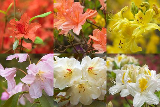 orange yellow white rhododendron