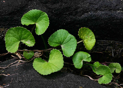 Gotu Kola (Centella Asiatica) Overview, Health Benefits, Side effects