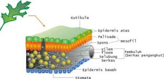 Jaringan pada tumbuhan epidermis parenkim pengangkut penguat pada beberapa bagian tumbuhan juga terdapat jaringan penguat yang berkembang dari jaringan parenkim ccuart Choice Image
