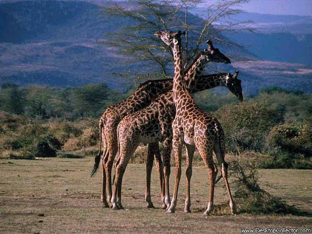 African Giraffe's