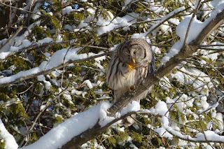 Barred Owl #1