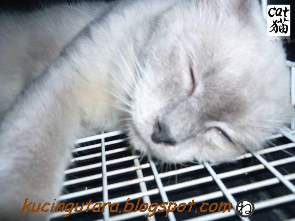 Kucing Utara Tuah Amp Boboi Kembali Ke Homestay Kucing