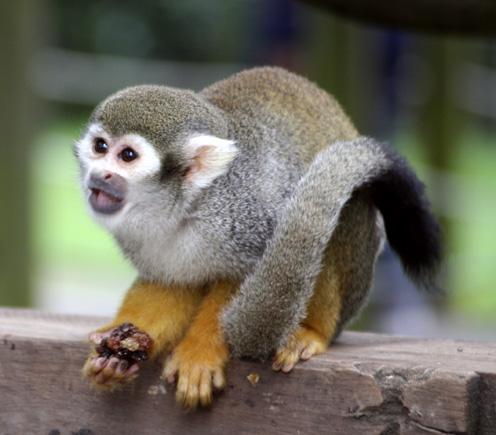 spider monkey articles