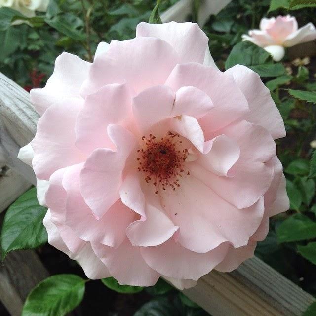 Nya rosor