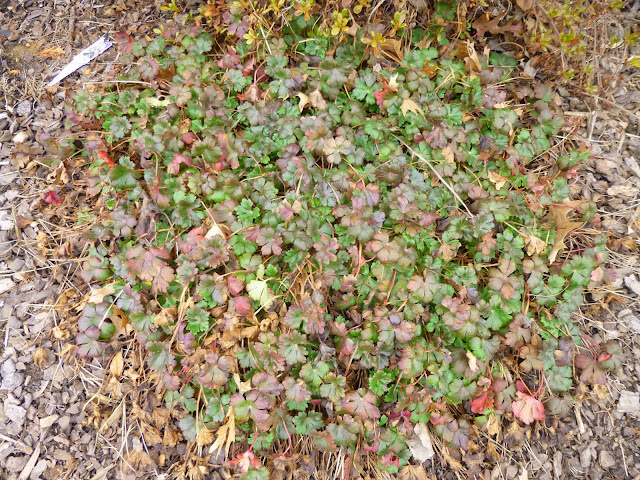 Geranium x cantabrigiense, Cambridge geranium, 'Biokovo', still evergreen in March 2015 after a harsh winter