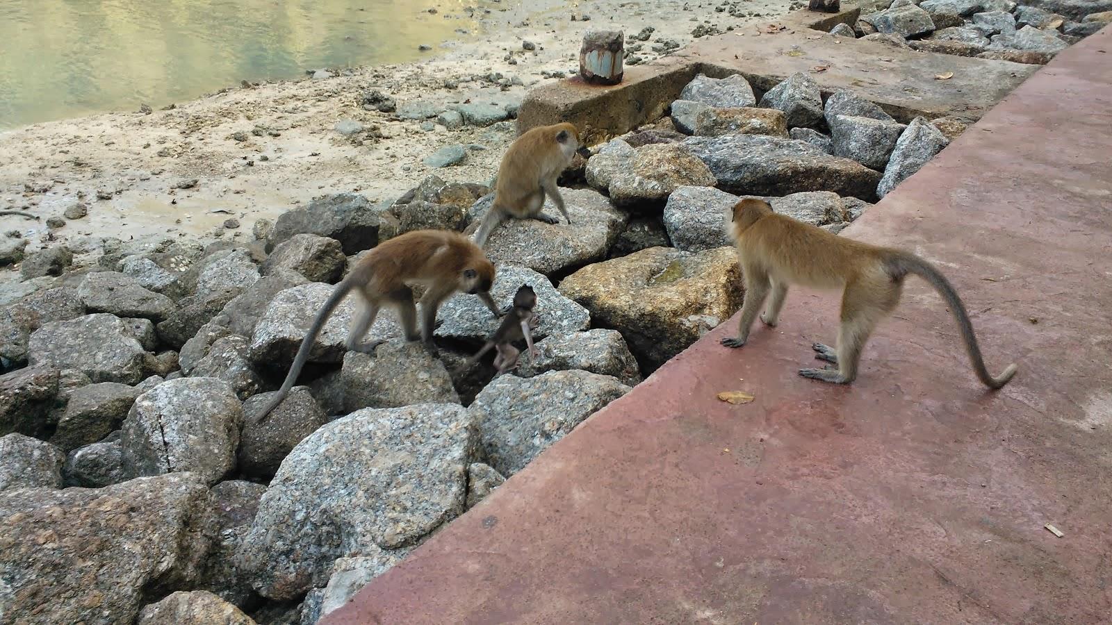 Monkeys in Langkawi - Malaysia