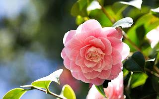 Camellia Flower Beautiful Desktop Wallpaper
