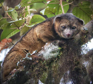 Olinguito first carnivore found