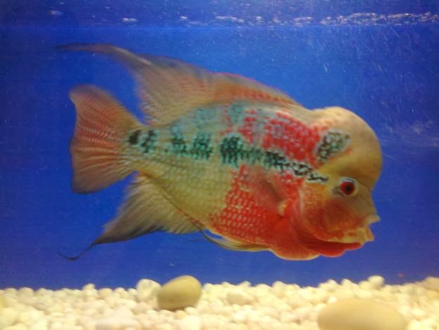 Flowern fish for Dragon fish for sale