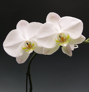 white butterfly orchid flower