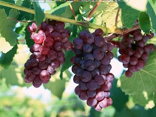 Mewarnai Gambar Buah Anggur Merah