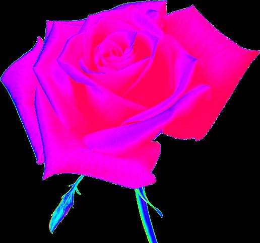 Image Result For Rosa De Bella
