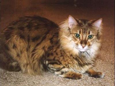 gambar Kucing Cashmere, kucing Bengal berbulu panjang