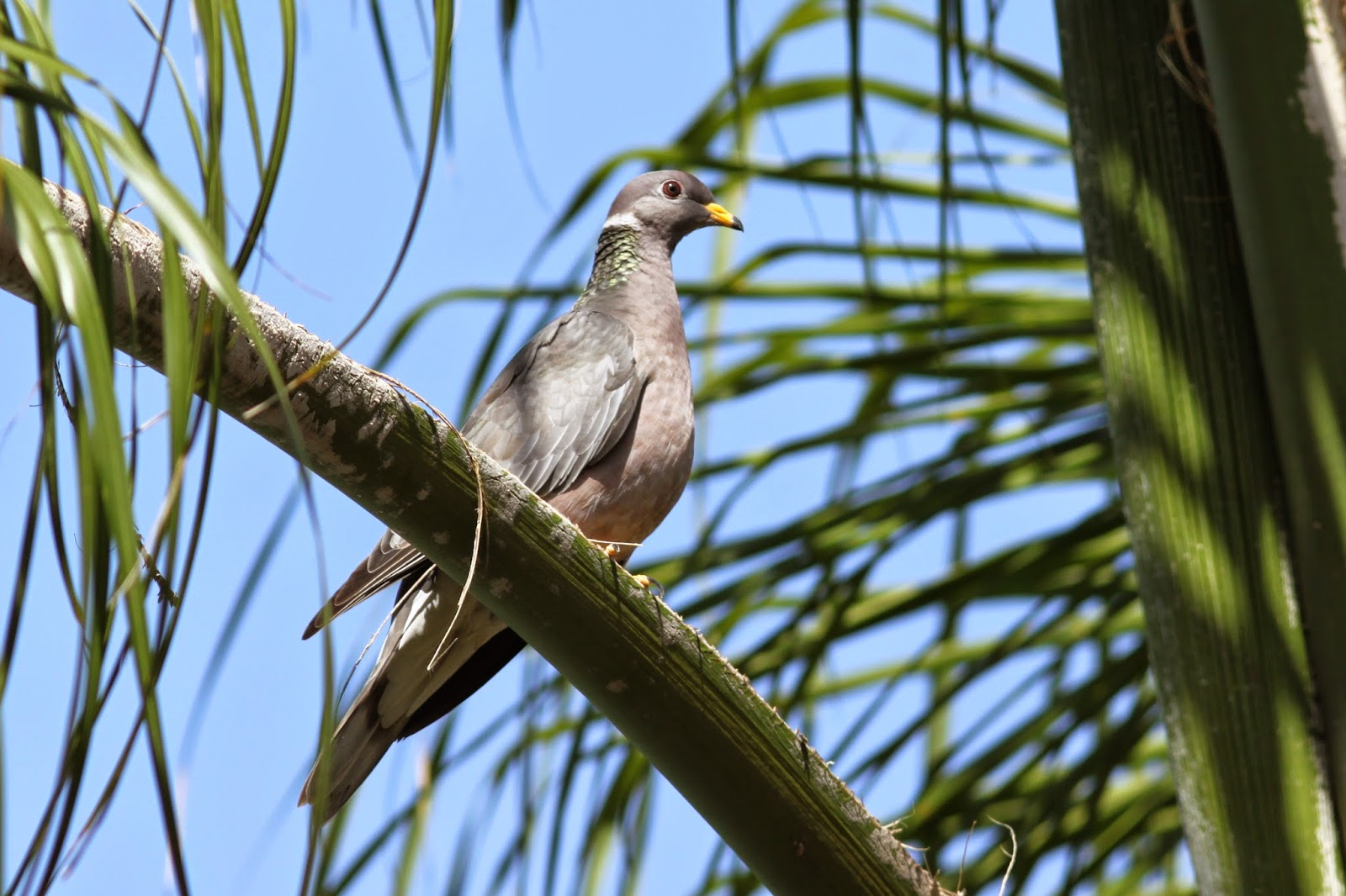 the backyard birder band tailed pigeons are large but not in charge